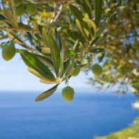 Food Tour of Istria Olive grove Istria Croatia - Terra Magica Croatia - adventure holiday Croatia