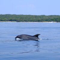 dolphin swimming in the adriatic sea near mali losinj croatia
